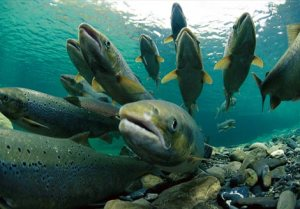 Lessons from Salmon: A New View On Struggle