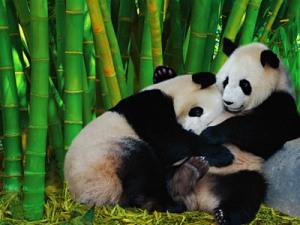 bamboopandas